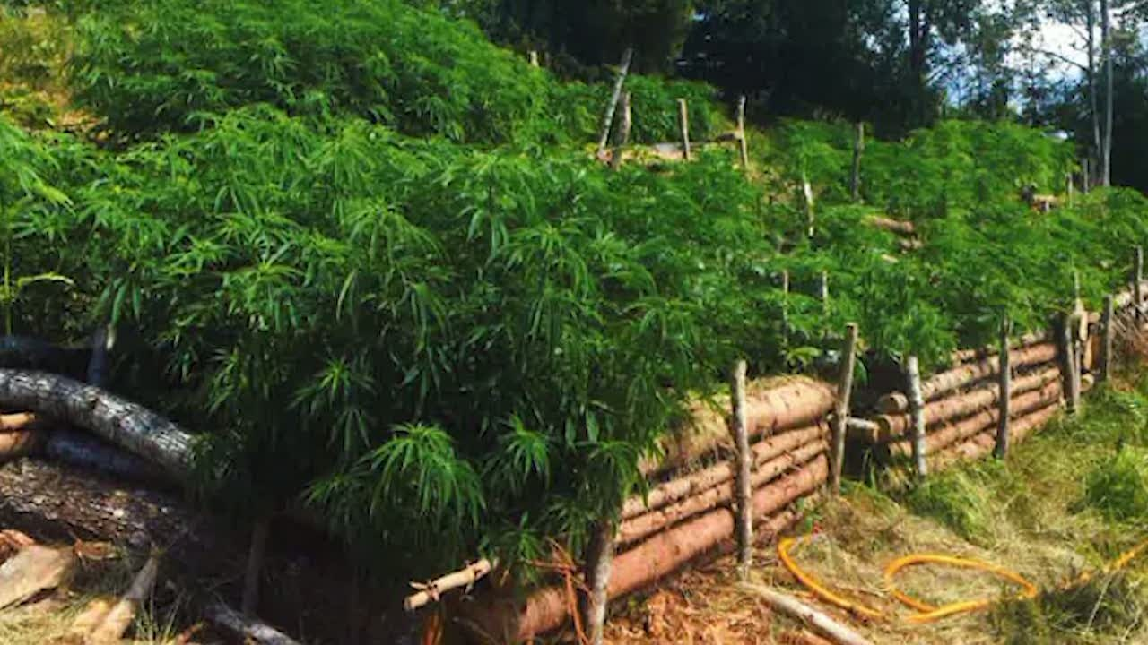 Cannabisodling hittades i dalsland