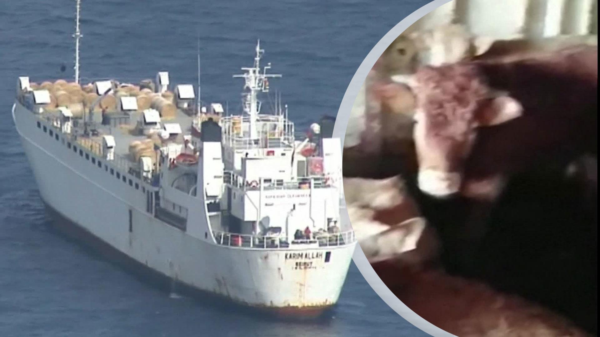 850 kor avlivas efter två månader till sjöss